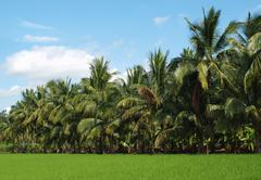 Lush green ricefield and palm trees Stock Photos