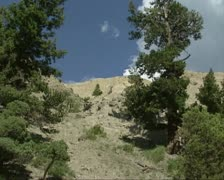 Mount Everts + zoom in Bighorn sheep, Ovis canadensis on mountain slope Stock Footage