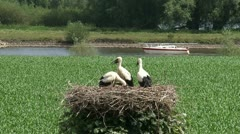 White stork (ciconia ciconia) juvenile in nest in Dutch river landscape Stock Footage