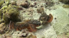 Scorpion Fish fighting, Shot 1 of 2 Stock Footage