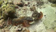 Stock Video Footage of Scorpion Fish fighting, Shot 1 of 2