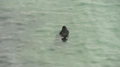 Grey seal adrift in Newquay harbour - stock footage