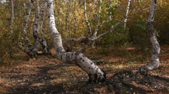 The birch wood. Stock Footage