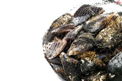 blue mussel bivalve - stock photo