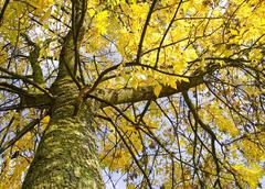Syksy puu putoavat lehdet Kuvituskuvat