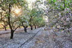 Almond garden in fading sun beams Stock Photos