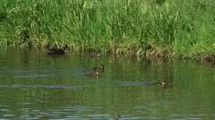 Duck with ducklings swimming in ditch (anas platyrhynchos) - stock footage