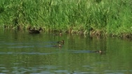 Duck with ducklings swimming in ditch (anas platyrhynchos) Stock Footage