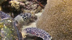 A Hawksbill Turtle looking for food, clip 3 of 5 Stock Footage