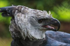 harpy eagle - endangered species - stock photo