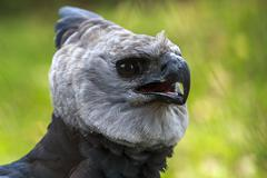 Harpy eagle - endangered species Stock Photos