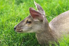 Marsh deer young female (blastocerus dichotomus) - endangered species Stock Photos