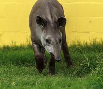 Tapir - endangered species Stock Photos
