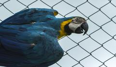 blue and yellow macaw - endangered species - stock photo