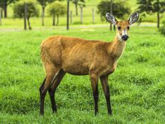 Marsh deer female (blastocerus dichotomus) - endangered threatened species Stock Photos
