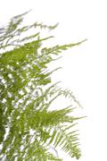 fern asparagus garden plant - stock photo