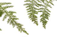 Stock Photo of fern asparagus garden plant
