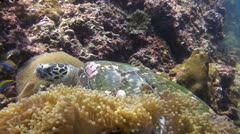 A Hawksbill Turtle looking for food, clip 2 of 5 Stock Footage