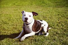 Pitbull koira istuu nurmikolla Kuvituskuvat