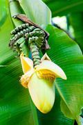 Banana flower blossom Stock Photos