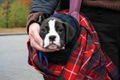 Celtic Puppy Stock Photos