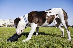 Pitbull koira purulelu puistossa Kuvituskuvat