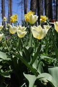 Nathaniel Court Tulips - stock photo