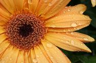 Stock Photo of Bright Yellow Flower with Dew Drops