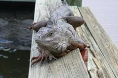 Iguana Chillin on a Park Bench - stock photo