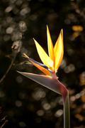 Strelitzia reginae Stock Photos