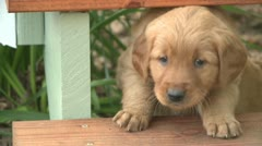 PLAYFUL PUREBRED GOLDEN RETRIEVER PUPPY HD 1080 STOCK VIDEO FOOTAGE CLIP Stock Footage