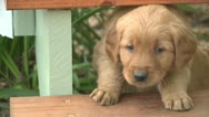 Stock Video Footage of PLAYFUL PUREBRED GOLDEN RETRIEVER PUPPY HD 1080 STOCK VIDEO FOOTAGE CLIP