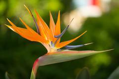 Strelitzia reginae flower Stock Photos