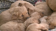 PUPPY GOLDEN RETRIEVERS ALL SNUGGLING IN DOG BED HD 1080 VIDEO STOCK FOOTAGE Stock Footage