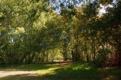 acacia trees - stock photo