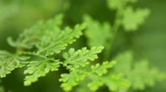 Lush Peacock Ferns, rack focus Stock Footage