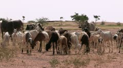 Burkina Faso: Sheep and Goats Graze Stock Footage