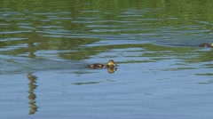 Ducklings swimming in ditch (anas platyrhynchos) chasing insects - stock footage