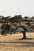 curious holm oak tree - stock photo