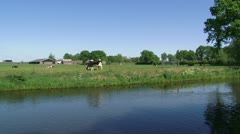 Dutch Holstein cow grazing, farmhouse and highway in background Stock Footage