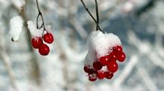 Berries in winter. sun snow. Stock Footage