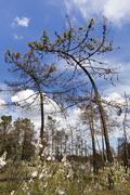 Curious bent pine trees Stock Photos
