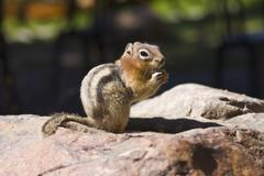 Stock Photo of golden mantled ground squirrel