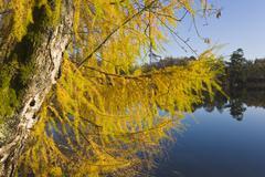 Larch tree in Autumn Stock Photos
