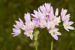rosy garlic (allium roseum) - stock photo