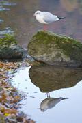 Blackheaded gull in Winter plumage Stock Photos