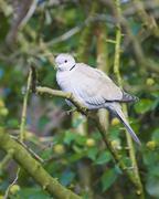 Collared dove in tree Stock Photos