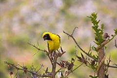 southern masked weaver bird - stock photo