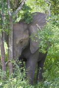 Stock Photo of Young elephant, Kruger National Park South Africa
