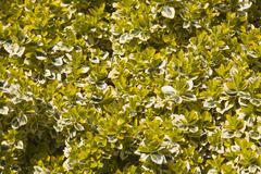 Euonymus fortunei shrub Stock Photos